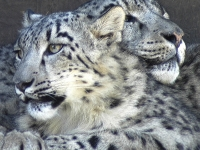 Resting Snow Leopards