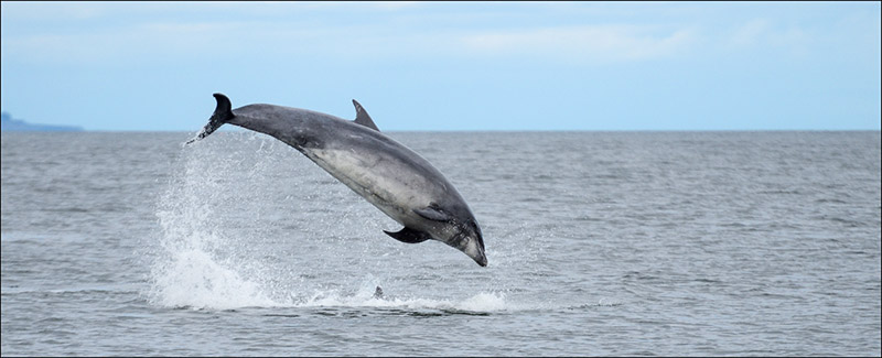 North Sea Bottlenose Dolphin