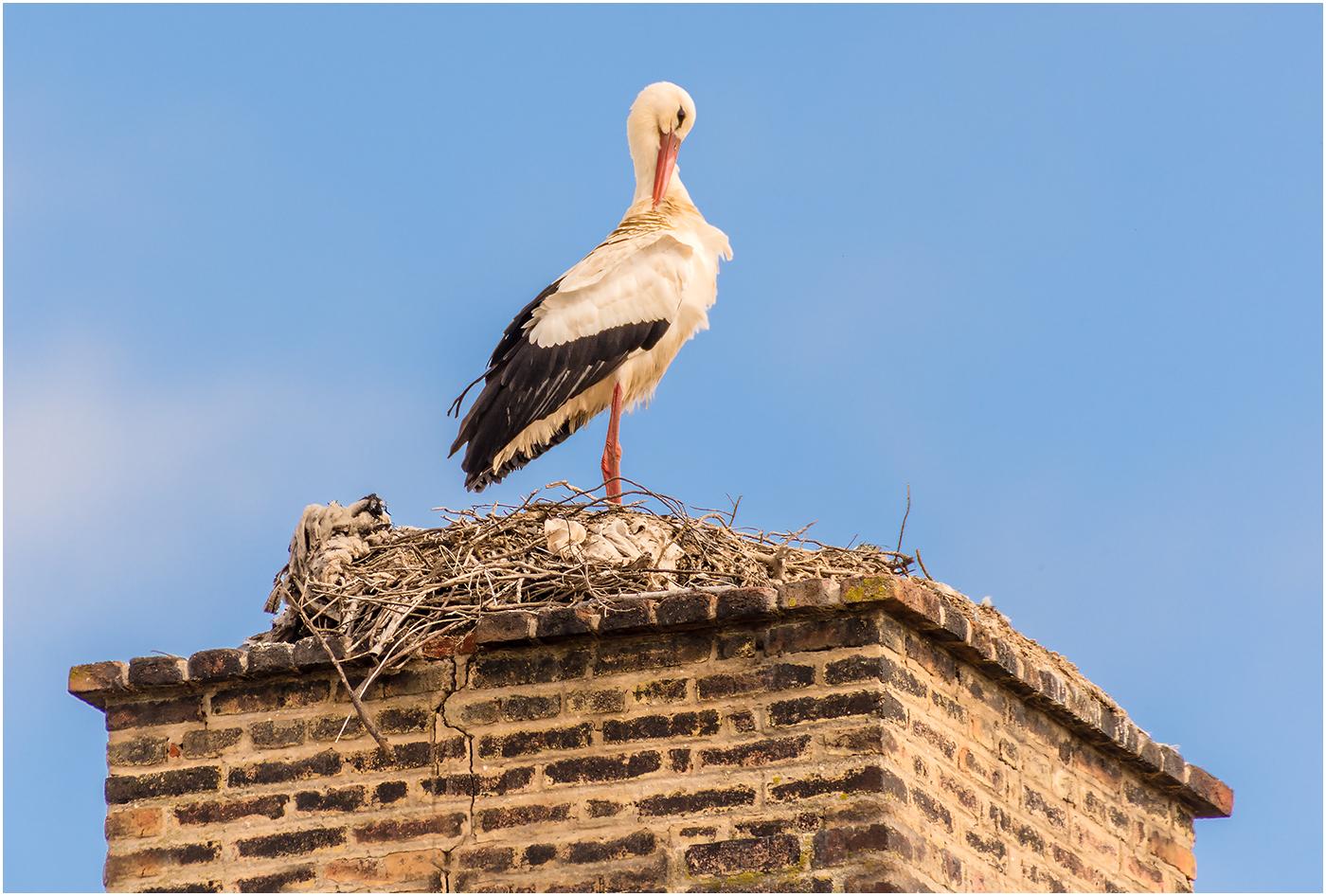 Preening White Stork 52