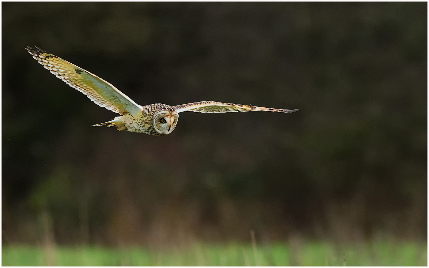 Short-Ear-Owl-Hunting