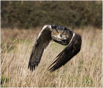 eagle-owl-800