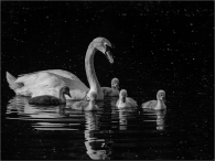 Cygnets-and-mum