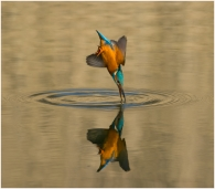 Kingfisher-Reflection