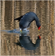 Moorhen-Reflection
