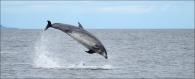 North Sea Bottlenose Dolphin
