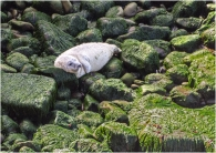 Seal pup resting 52