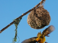 Cape weaver leaving its nest