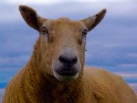 sheeps-head