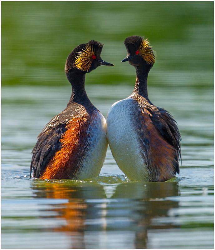 Black Neck Grebe Courtship