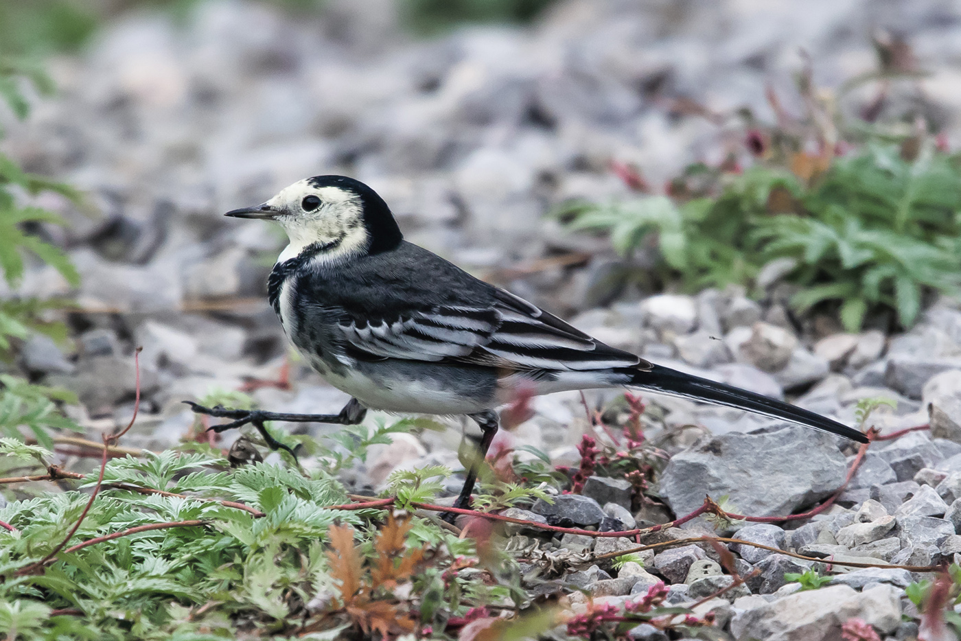 Goosestepping-wagtail