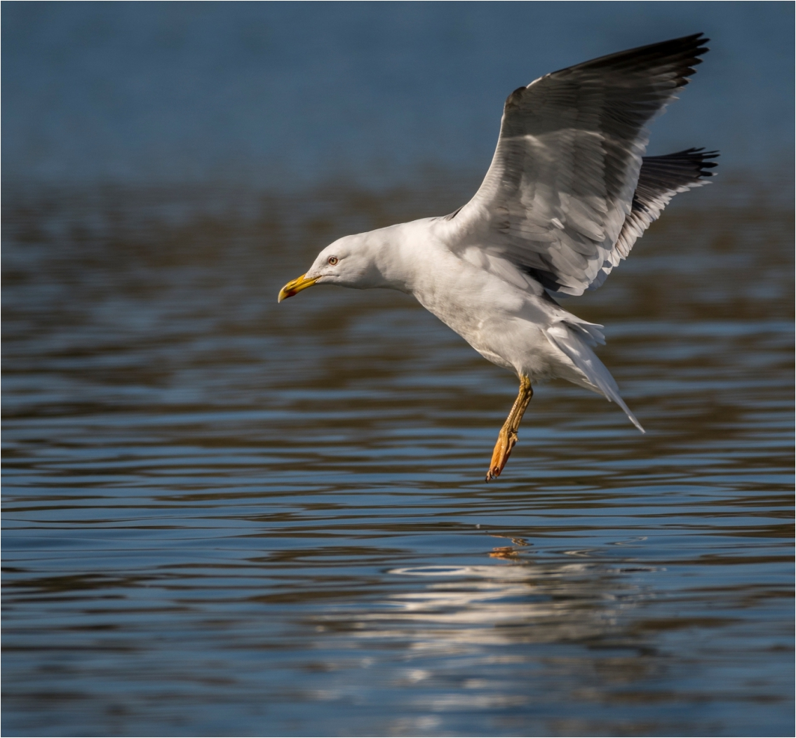 Gull coming in to land 56