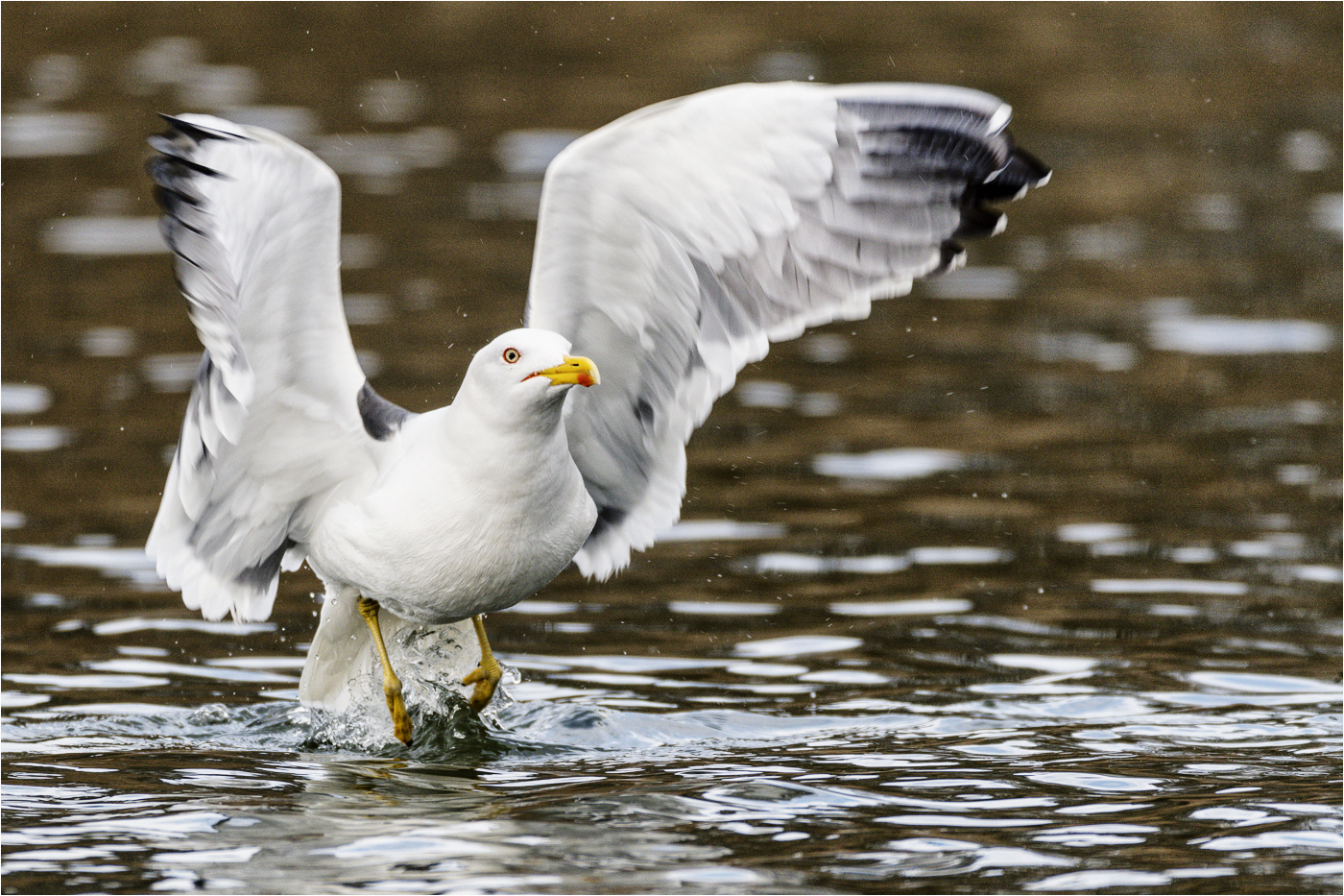 Gull taking off 56
