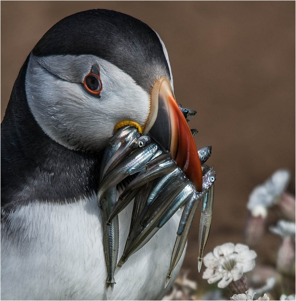 Puffin With Lunch 23