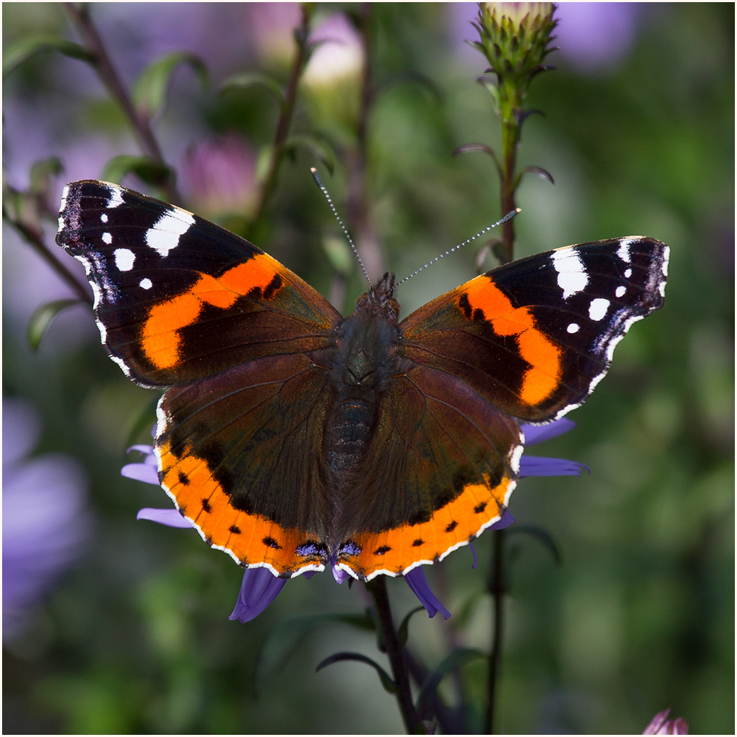 Red Admiral - 57