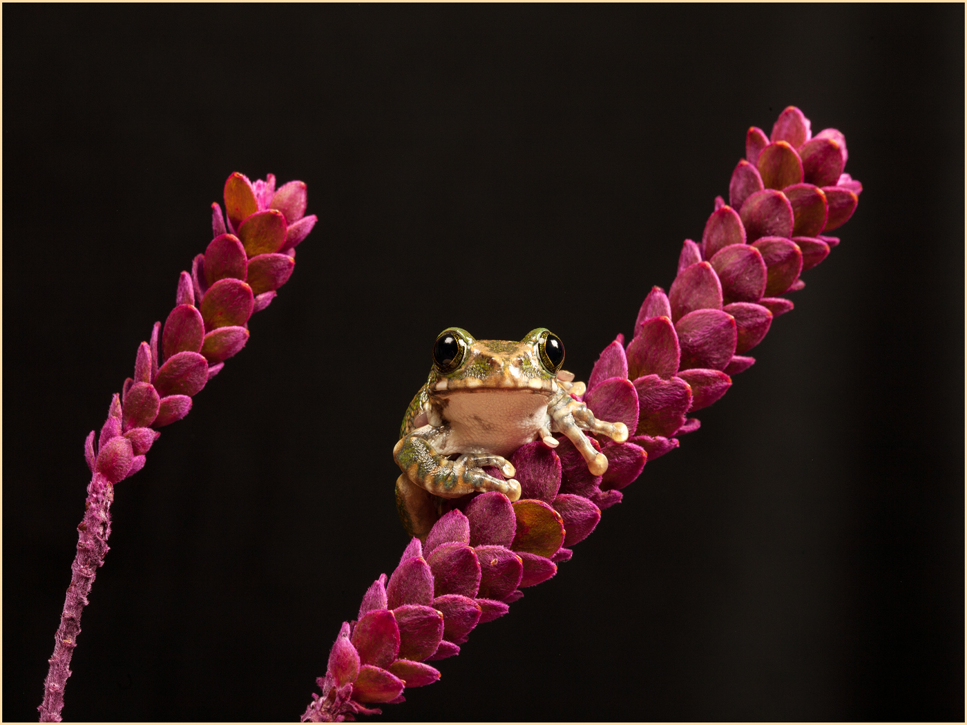 Tree Frog No 45