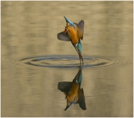 Kingfisher-Diving