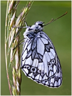Moo the Marbled White